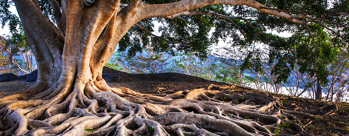 Fig tree with large root system